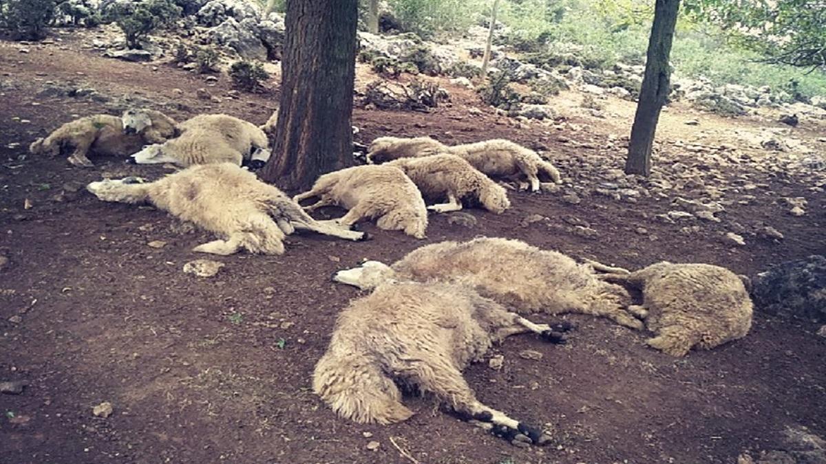 Kozanda Ağaca Yıldırım Attı 13 Koyun Telef Oldu