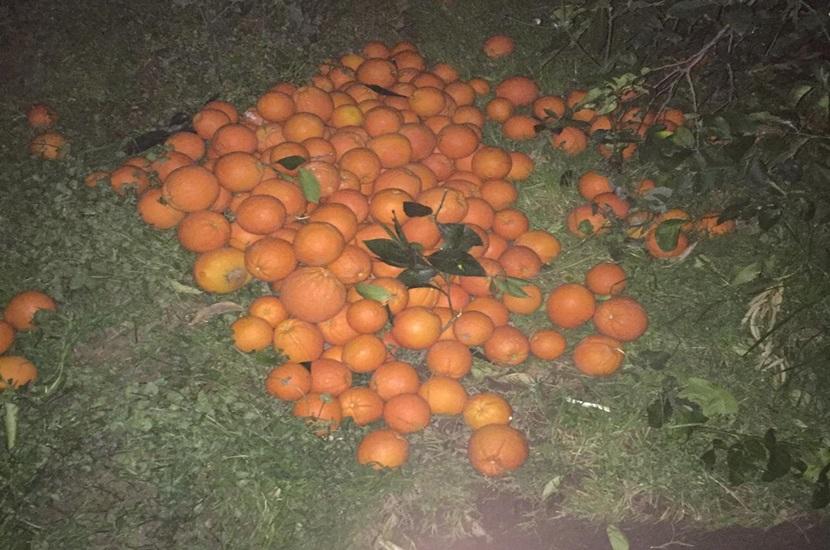 Kozanda Bahçeden Çaldıkları Portakalla Kıskıvrak Yakalandı