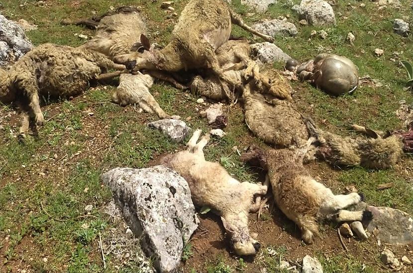 Saimbeyli'de Kurt Koyunları Telef Etti
